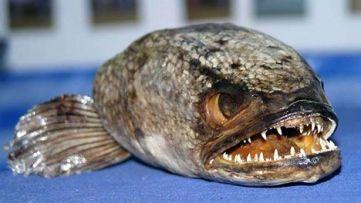 fishzilla-snakehead-fish